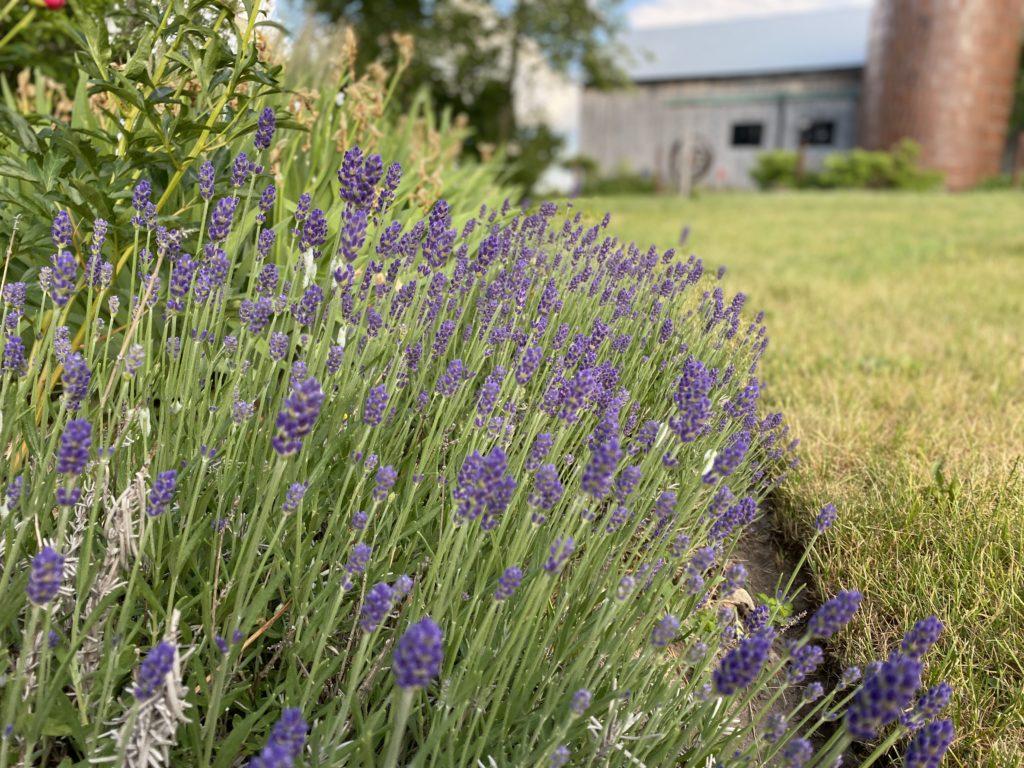 Lavender, South Pond Silo