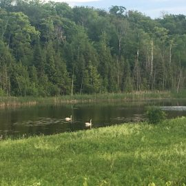 South Pond with Swans